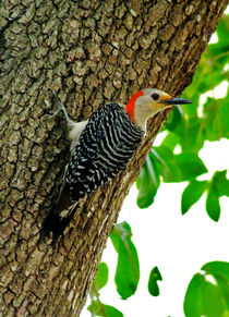 Red-Bellied Woodpecker. Orange County, Florida. by chris kusik