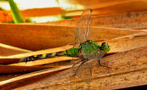 Great Pondhawk And Palm. Osceola County, Florida. by chris kusik