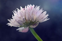 Chive by Sarah Couzens