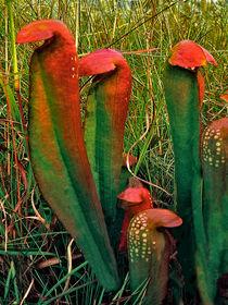 Pithcherplants
