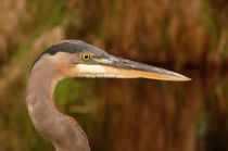 Great Blue Head Shot. Indian River County, Florida. von chris kusik