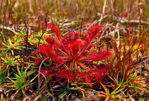 Sundew. Osceola Count, Florida. by chris kusik
