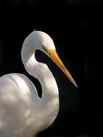 Great White Egret Portrait. Merritt Island National Wildlife Refuge, Florida. von chris kusik