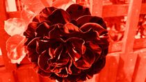blood red rose von Chrissy Woodhouse