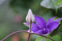 clematis bud by mark severn