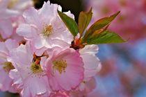 Kirschblüten von Bernhard Kaiser