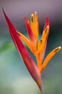 Paradiesvogelblume (Strelitzia reginae) von Karsten Müller