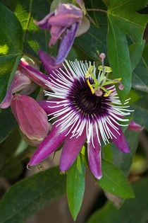 Passiflora purpurea von Karsten Müller