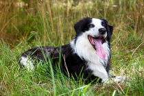 Border Collie in der Natur von Gina Koch