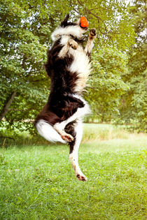 Springender Border Collie von Gina Koch