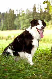 Border Collie in der Natur by Gina Koch