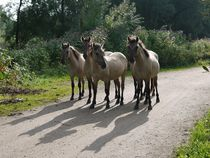 Neugierige Konik-Pferde in der Millingerwaard von Elke Baschkar