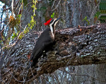 Pileated Woodpecker On Oak.  Osceola County, Florida. by chris kusik