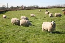 sheep von mark severn