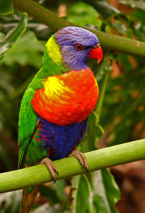 Rainbow Lorikeet.  von chris kusik