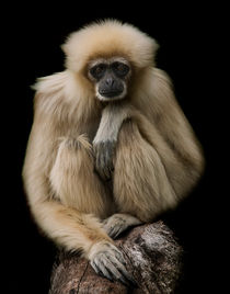 Lar Gibbon by Sam Smith