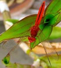 Dragonfly resting  by Bettina Breuer