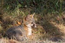 Jugendlicher Grauer Fuchs von Kathleen Bishop