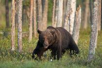 Brown bear (Ursos arctos) von Nicklas Wijkmark