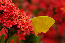yellow butterfly on red flowers von Craig Lapsley