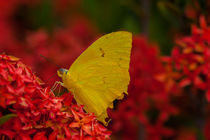 yellow butterfly by Craig Lapsley