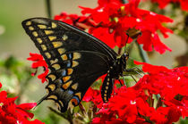 'Baird's' Old World Swallowtail Butterfly von Barbara Magnuson & Larry Kimball