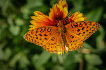 Aphrodite Fritillary Butterfly von Barbara Magnuson & Larry Kimball