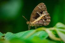 [Taygetis penelea] Butterfly von Barbara Magnuson & Larry Kimball