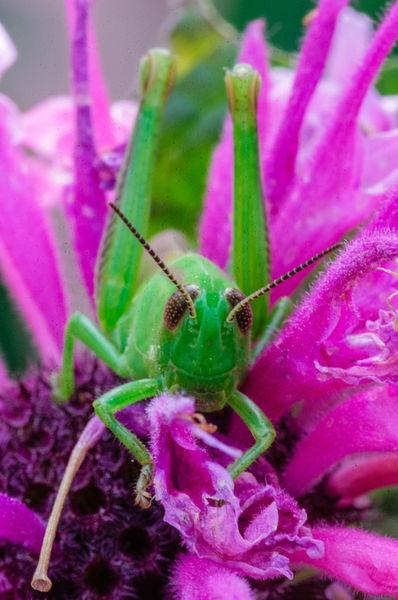 Ingr-0013-dot-jpg-differential-grasshopper-melanoplus-differentialis-short-horned-grasshopper-nymph