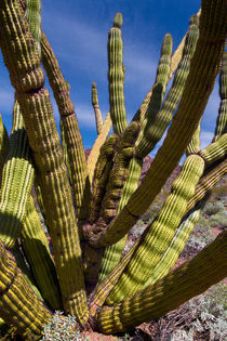 Organ Pipe by Kathleen Bishop