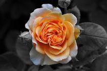 Rose by Sabine Hofmann