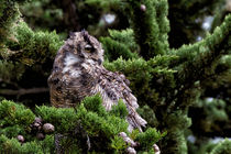 Great Horned Owl in a Cypress Tree by Kathleen Bishop