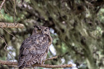 Horned Owl Perched in the Pines by Kathleen Bishop