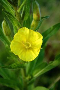kleine gelbe blüte von Lore Müller