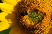 pollinators teamwork on sunflower - Biene und Hummel auf Sonnenblume von mateart