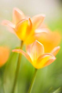 Tulpe by Markus Keinath