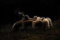lambs by halil celebi