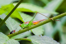 tiny cricket meets small grasshopper von Craig Lapsley