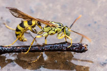 wasp in the rain by Craig Lapsley