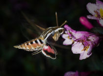 Hummingbird moth 2 by Bryan Heaps