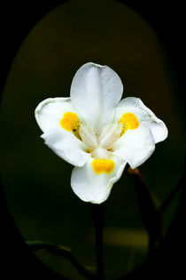 Pretty white and yellow orchid von Craig Lapsley