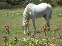 weidendes Pferd auf der Wiese bei Sa Coma von Eva Hedbabny