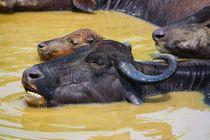 Büffelfamilie by ann-foto