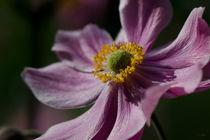 Dsc-5873-japanische-anemone-dunkel-verhaeltnis-3-zu-2