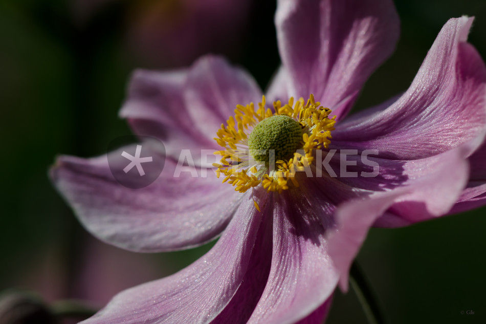 japanische anemone fotografie als poster und kunstdruck. Black Bedroom Furniture Sets. Home Design Ideas