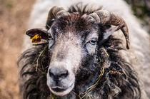 Schaf I von elbvue von elbvue