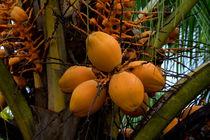 kokosnüsse von Lore Müller