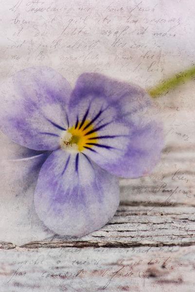 Violettahoch