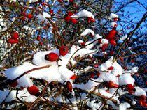 Hagebuttenschnee - rose hip snow  von mateart