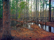 Pine and Water. Osceola County, Florida. von chris kusik